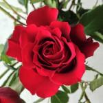 Rode Roos Dactylus